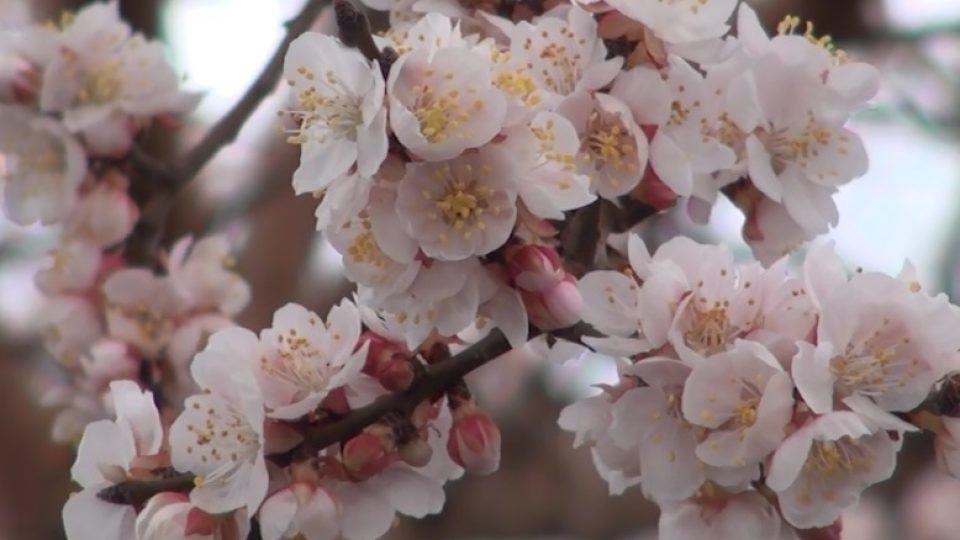 abrikosy.jpg